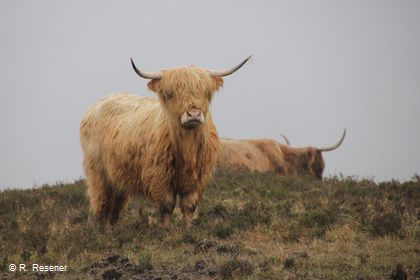 Highland Cattle / Reimund Resener